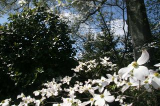 Dogwood and holly - april