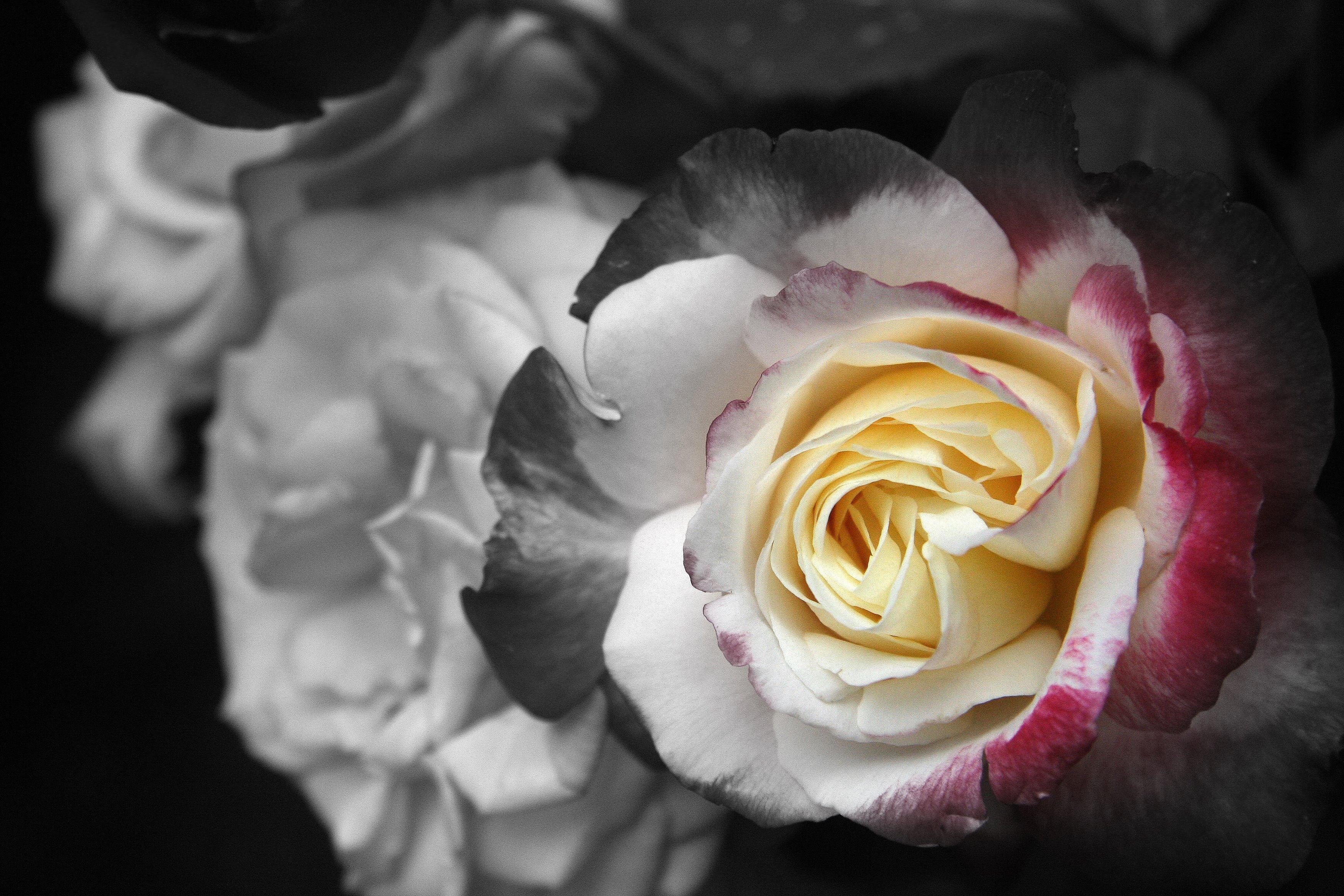 Multi roses focal bw 2