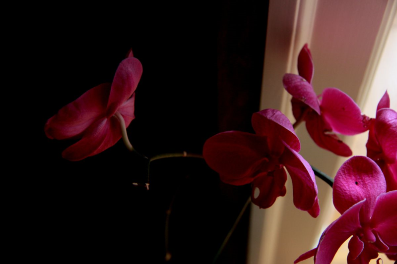Orchids dark light