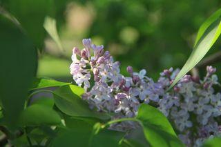 Lilac nesting