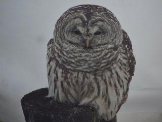 Wise Vermont Owl