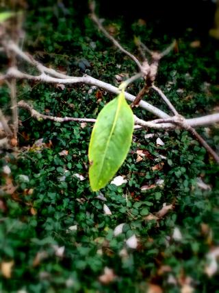 First leaf 2