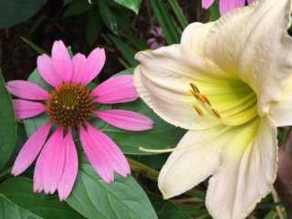 Lily speaks to cone flower - erie chapman