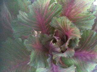 Cabbage Robyn_n