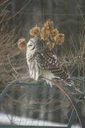 New Hampshire Owl in headress