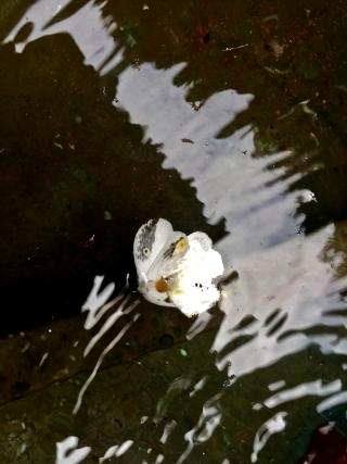 Pansey drowning